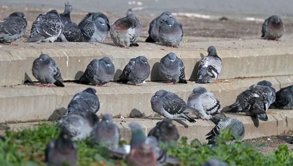 Pourquoi déteste-t-on les pigeons?