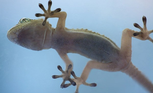 nanoGriptech: Revolutionary Adhesive Inspired by… Geckos