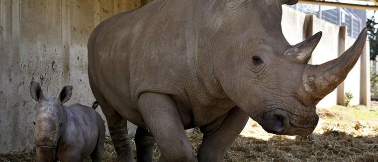 Un rhinocéros abattu par des braconniers pour sa corne au zoo de Thoiry