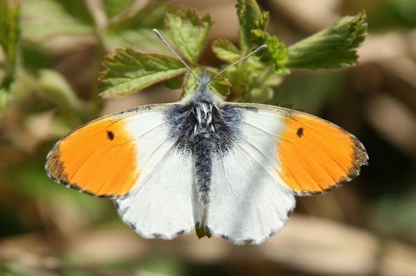 Aurore (papillon) — Wikipédia