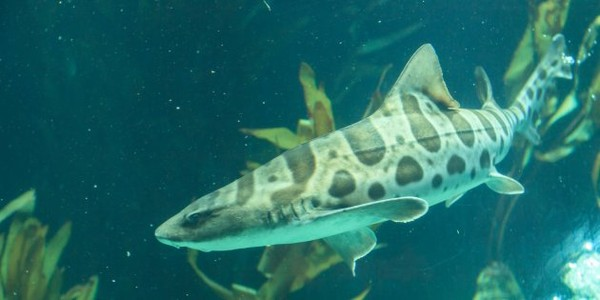 Après avoir été privée de son mâle pendant des années, cette femelle requin a fait des bébés toute seule