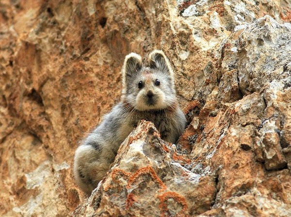 are pikas endangered which might make you feel amazing - NICE PLACE TO VISIT