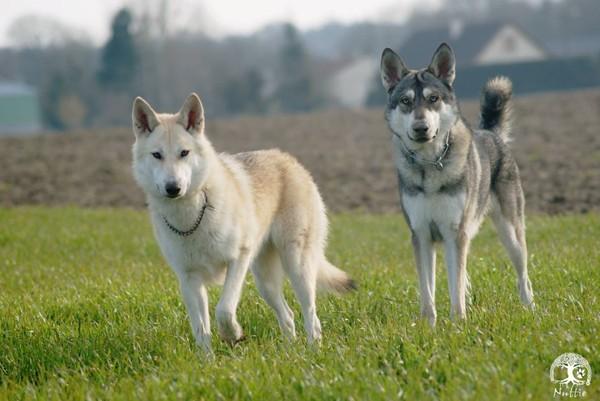 Ces chiens-loups ont été condamnés à mort par la justice française. La raison: ils ont juste été jugés trop proches du loup!