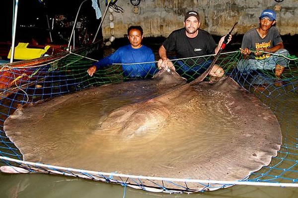 5. A Nomura jellyfish weighting 440 lbs (200 kg) and a giant freshwater flat fish of 1320 lbs (600 kg)