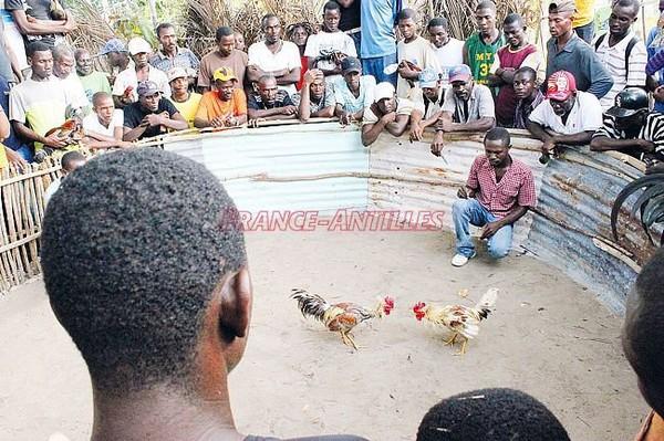 L'extinction programmée des combats de coqs - Toute l'actualité de la Martinique sur Internet - FranceAntilles.fr