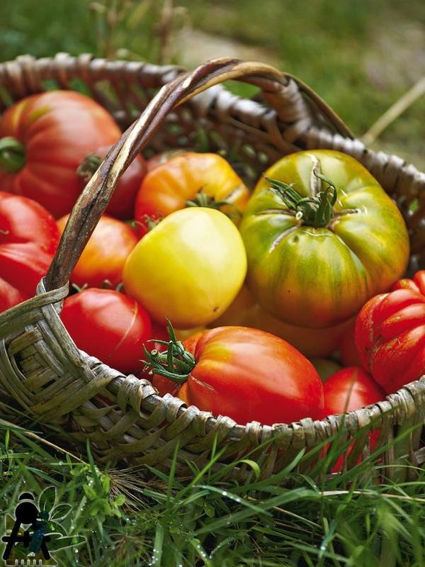 Solanum Lycopersicum (Les Tomates) | Baeza SARL, Paysagiste et Pépinière