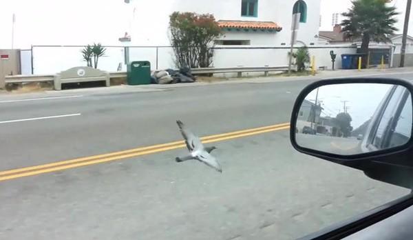 Un pigeon vole juste à côté d'une voiture
