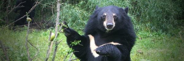 Contre l'enfer des ours en Chine, mutilés pour leur bile - Fondation 30 Millions d'Amis