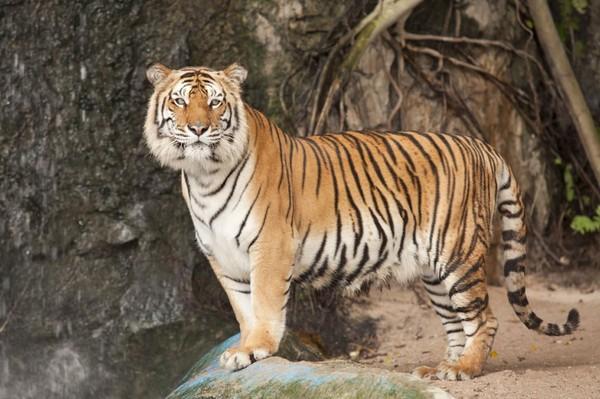 Un tigre en liberté recherché en Seine-et-Marne