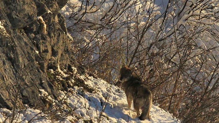 Rencontre d'un randonneur avec deux loups dans le Vercors, en Isère - France 3 Auvergne-Rhône-Alpes