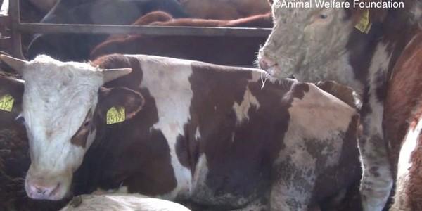Images inédites du calvaire de bovins exportés depuis l'Europe en Méditerranée