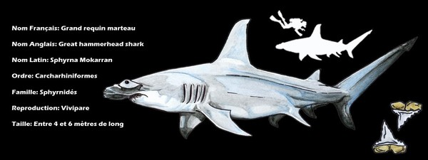 Grand requin marteau - Shark Education