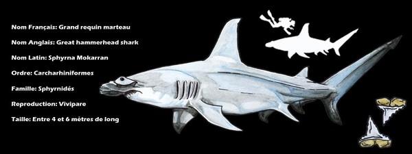 Grand requin marteau - Shark Education