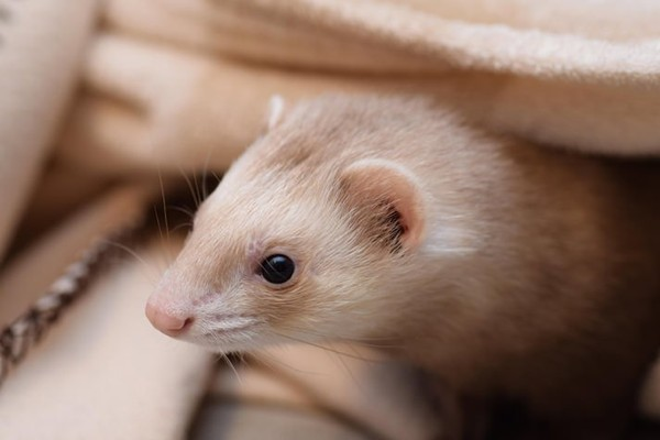 Ferret PAC Forms To Push Ferret Legalization In California - Petcha