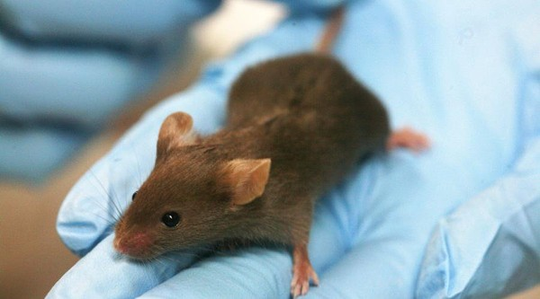 Recherche. Les scientifiques se défendent de torturer les animaux