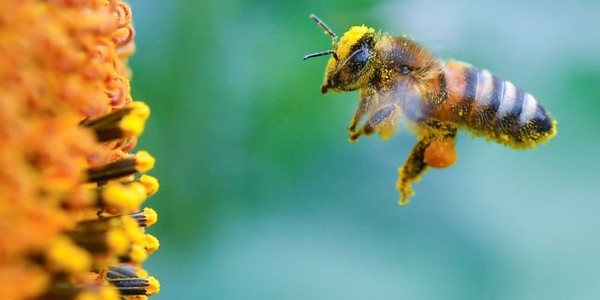 Les pesticides triplent la mortalité des abeilles sauvages