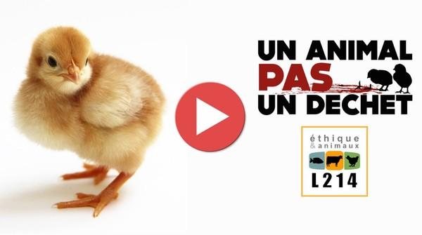 L214 révèle des images provenant d'un couvoir de poussins (France - 2014)