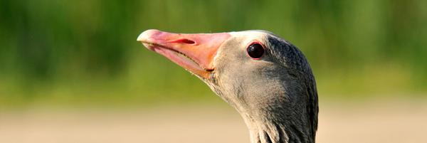 Contre le plumage des oies vivantes - Fondation 30 Millions d'Amis