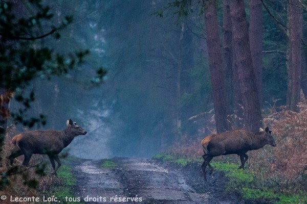 Cerfs mulet tôt le matin