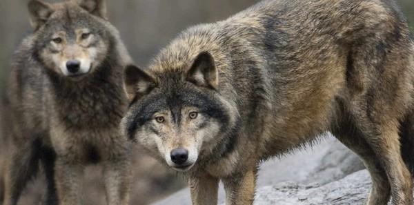 La chasse aux loups est ouverte