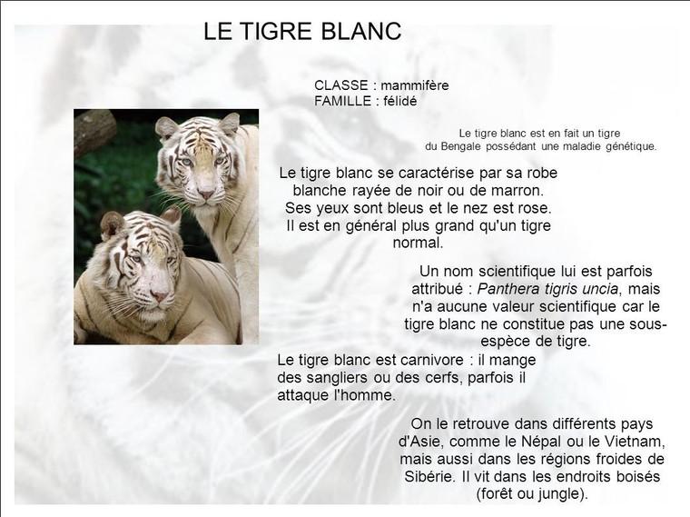 Résultats Google Recherche d'images correspondant à https://slideplayer.fr/slide/4061743/12/images/1/LE+TIGRE+BLANC+Le+tigre+blanc+se+caract%C3%A9rise+par+sa+robe.jpg