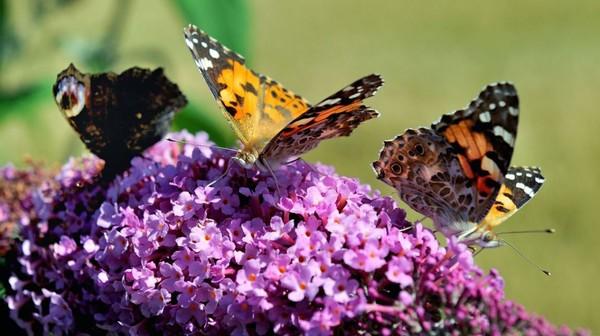 L'arbre à papillons, un faux ami pour ces insectes