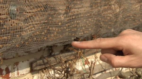 Rencontre avec l'abeille solitaire, espèce peu connue mais essentielle