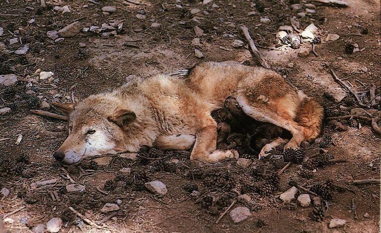 3 loups froidement abattus depuis le 5 juillet 2016 ! - Loup