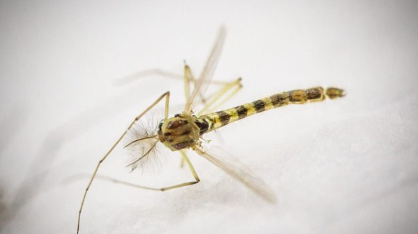 Chikungunya, dengue, zika : le moustique tigre bien installé en Ile-de-France