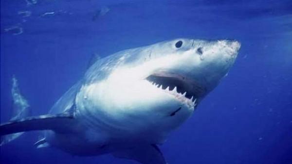 Californie: la capture d'un requin blanc devient problème - LINFO.re - Magazine, Insolite