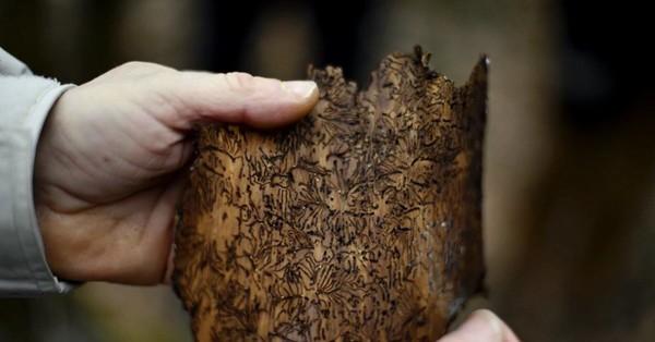 Lorraine Environnement. Le scolyte, cet insecte qui dévaste nos forêts