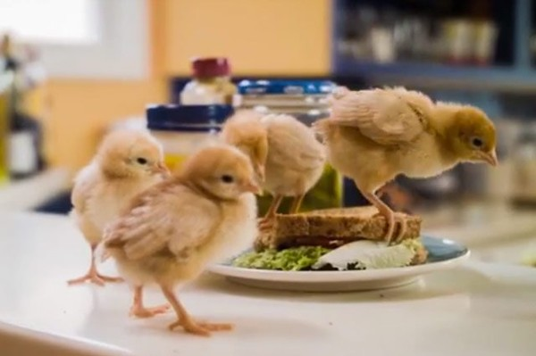 Were Baby Male Chicks Killed to Make Your Mayo?