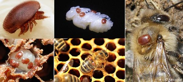 """MESSAGE ADAAQ """"L'arrêt de ponte hivernal pour lutter contre varroa"""""""