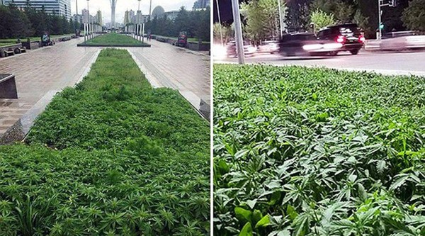 "Marijuana is ""accidentally"" planted in city centre flowerbeds in Kazakhstan"