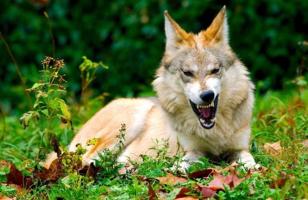 N'ayons plus peur des loups