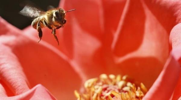 SOS abeilles en détresse en Europe: la fin du monde telle que l'imaginait Einstein approche-t-elle?