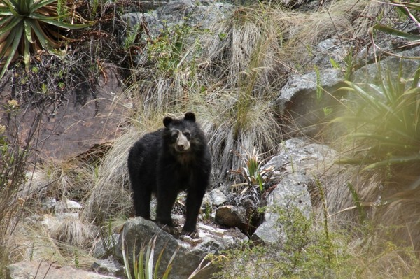 Watch cute Andean bears roam among tourists at Historic Sanctuary of Machu Picchu
