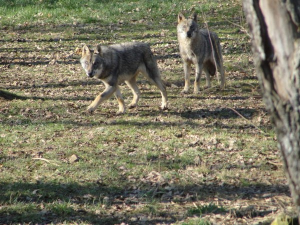 Sabotage au Loups du Gévaudan : à qui profite le crime ? - Loup