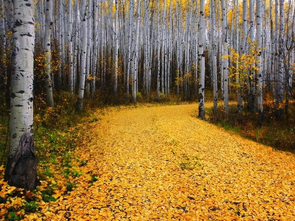Amazing cute aspen trees in Colorado - NICE PLACE TO VISIT
