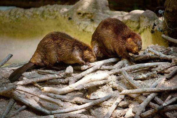 Et si on réintroduisait les castors pour limiter les inondations en Grande-Bretagne - Sciences - MYTF1News
