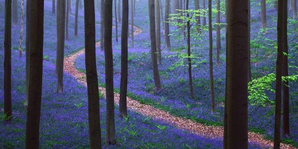 Il existe en Belgique une mystérieuse forêt entièrement tapissée de jacinthes.