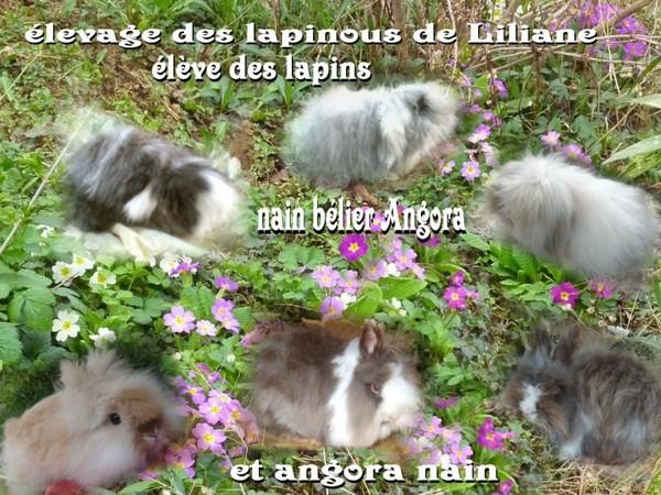bienvenue a lélevage des lapinous de liliane