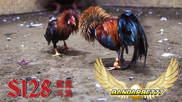Tips Memperkuat Tulang Leher Ayam Bangkok Agar Lebih Kuat