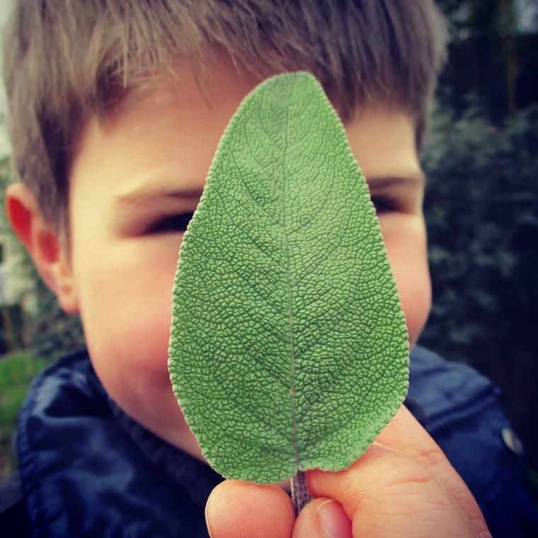 """Jardin Des Cocagnous on Instagram: """"Les très jeunes feuilles sont comestibles crues (à consommer avec modération) Plante digestive par excellence, la sauge possède de…"""""""
