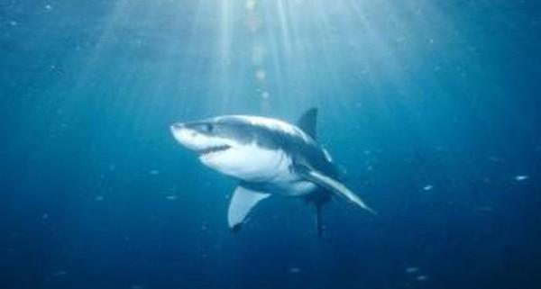 Les requins sont-ils nos amis ?