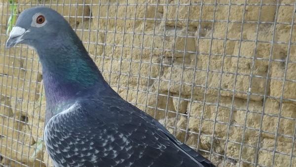 Un pigeon voyageur soigné dans le Lot regagne sa maison, en Hollande