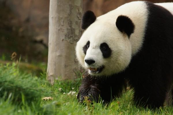 Pas de bébé panda cette année | Actualité | ZooParc de Beauval