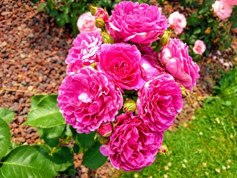 D'une épine, une rose est née - Aimez vos roses. - LNO