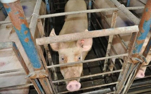 Speak Up for Dogs and Pigs Abused and Neglected by Laboratory Dealer! | Action Alerts | Actions | PETA