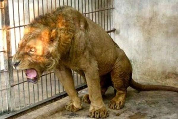 """Indonésie : l'enfer du zoo de Surabaya, le """"zoo de la mort"""""""